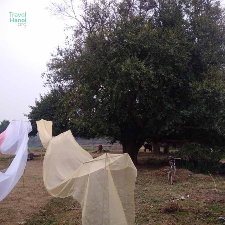 ancient tree duong lam