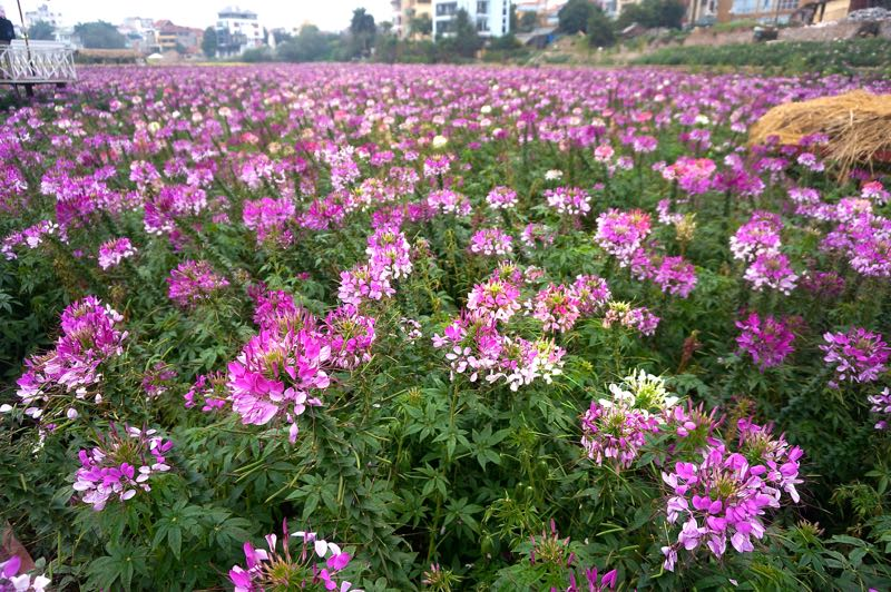 flower valley west lake hanoi