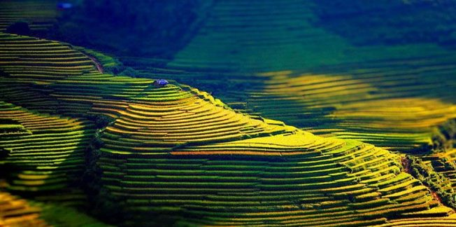 terraced rice fields hoang su phi